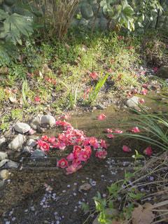 小川にたまる椿の花の写真・画像素材[1786946]