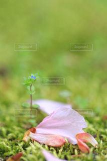 散る桜の花と新たな芽の写真・画像素材[1786952]