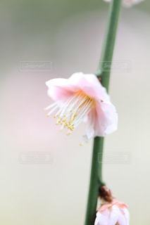 梅の花の写真・画像素材[1787017]