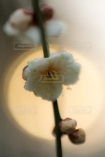 光をバックに梅の花の写真・画像素材[1787019]