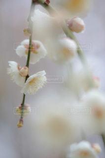 咲き誇る梅の花の写真・画像素材[1787130]