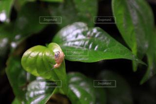 カタツムリの写真・画像素材[1788411]