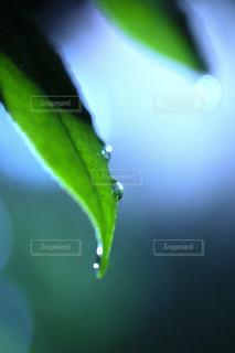 葉と雨つゆの写真・画像素材[1789321]