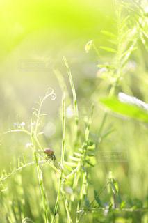 草とテントウムシの写真・画像素材[1790196]