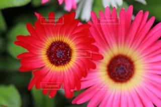ガーベラの花の写真・画像素材[1790215]
