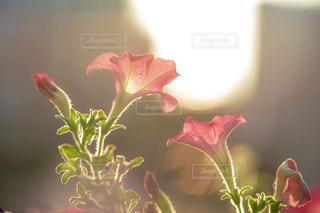 朝日を浴びる花の写真・画像素材[1790736]
