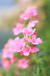 ピンクの花の写真・画像素材[1790748]