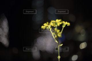 冬の夜に咲くツワブキの花の写真・画像素材[1791854]