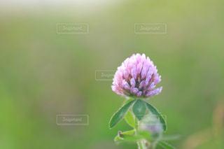 草むらに咲くアカツメグサの写真・画像素材[1793640]