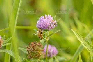 ミツバチとアカツメグサの写真・画像素材[1793641]