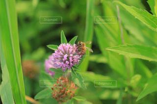 ミツバチとアカツメグサの写真・画像素材[1793642]