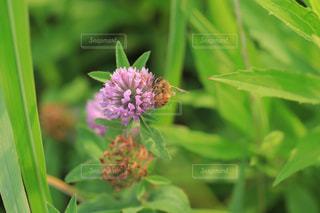 ミツバチとアカツメグサの写真・画像素材[1793644]