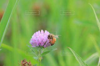ミツバチとアカツメグサの写真・画像素材[1793646]