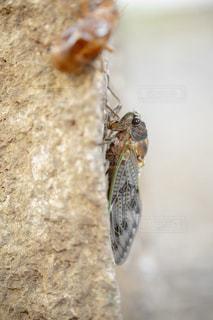 羽化した蝉の写真・画像素材[1793647]