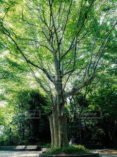 公園の大きな木の写真・画像素材[1793689]