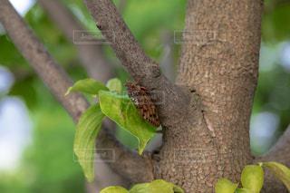 木の枝にとまったセミの写真・画像素材[1793693]