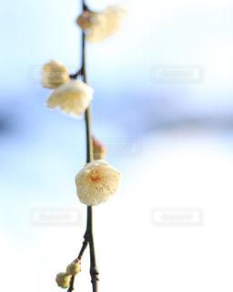 梅の花の写真・画像素材[1794346]