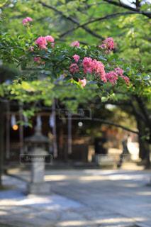 境内に咲くサルスベリの写真・画像素材[1794539]