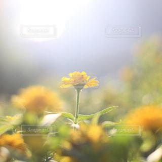 朝日を浴びる花の写真・画像素材[1794842]