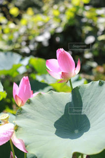 蓮の花の写真・画像素材[1795934]