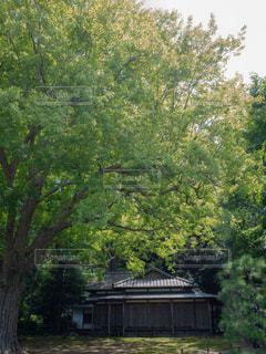 公園の大きな木の写真・画像素材[1798486]