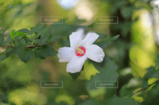 植物の白い花の写真・画像素材[1798487]