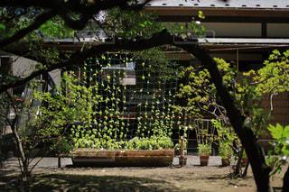 平屋の前にある蔦の葉の写真・画像素材[1798491]