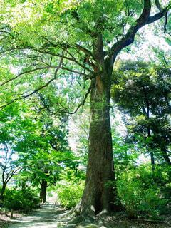 見上げた樹木の写真・画像素材[1803636]