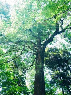 見上げる大木の写真・画像素材[1803637]