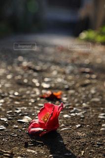 散る椿の花の写真・画像素材[1812680]