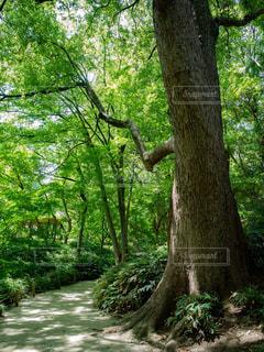 大木の写真・画像素材[1812941]