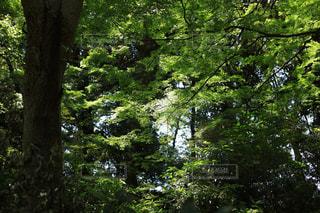 森の大きな木の写真・画像素材[1814637]