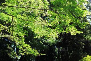 マイナスイオンある青紅葉の写真・画像素材[1814645]