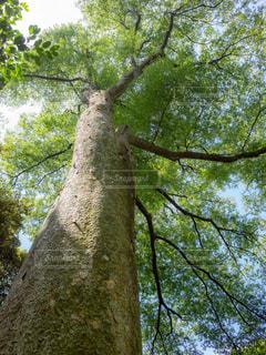 森の大きな木の写真・画像素材[1814655]
