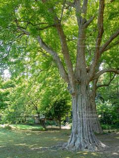 公園の大きな木の写真・画像素材[1814656]