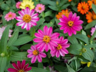 カラフルな花の写真・画像素材[1828404]