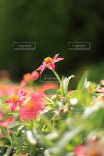 天に咲く花の写真・画像素材[1828418]