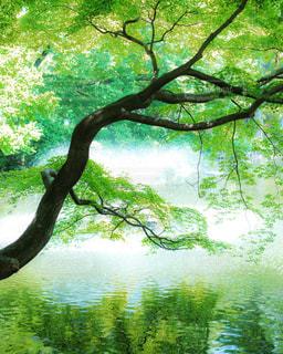 水面に伸びる楓の木の写真・画像素材[2139988]