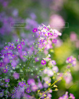 道端に咲くバーベナの写真・画像素材[2139989]