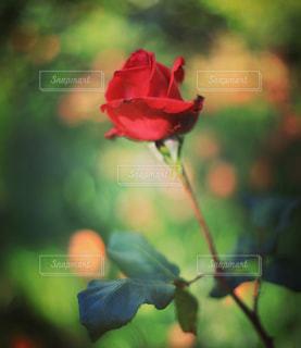 赤薔薇の写真・画像素材[2144545]