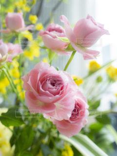 ピンクの薔薇の写真・画像素材[2144566]