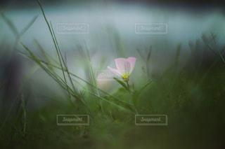 草むらに咲くヒルガオの写真・画像素材[2174939]