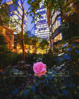 夜の街に咲く薔薇の写真・画像素材[2201831]