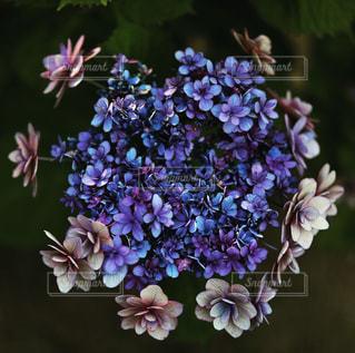 青の紫陽花の写真・画像素材[2247547]