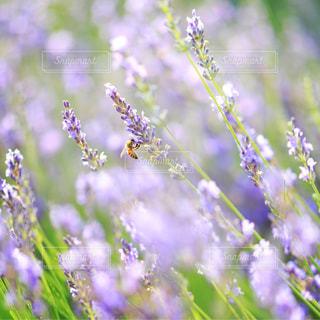 ハチとラベンダーの写真・画像素材[2250835]