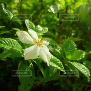 クチナシの花の写真・画像素材[2258533]
