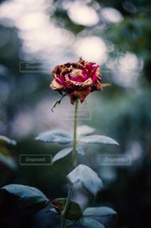 枯れた薔薇の写真・画像素材[2310131]