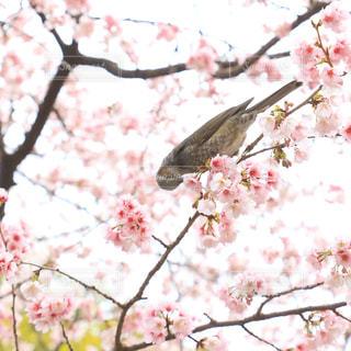 桜の花をつつくヒヨドリの写真・画像素材[2987610]