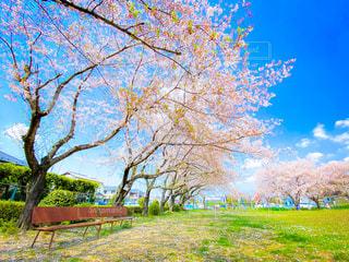桜の木の下にあるベンチの写真・画像素材[3084772]
