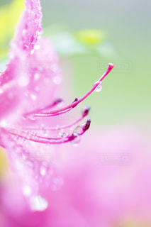 雨に濡れるツツジの写真・画像素材[3274660]